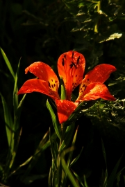 Lily Evening