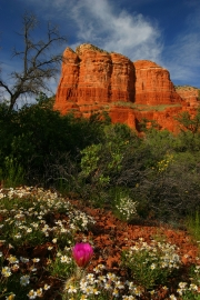 Courthouse Butte In Cactus Bloom