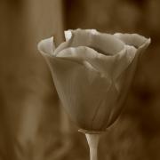 Poppy Textures
