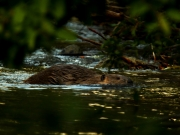 A Beavers Life
