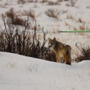 Coyote White Christmas